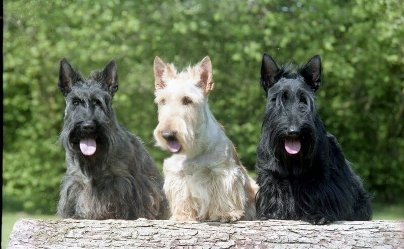 Scottish Terrier Scottie Group