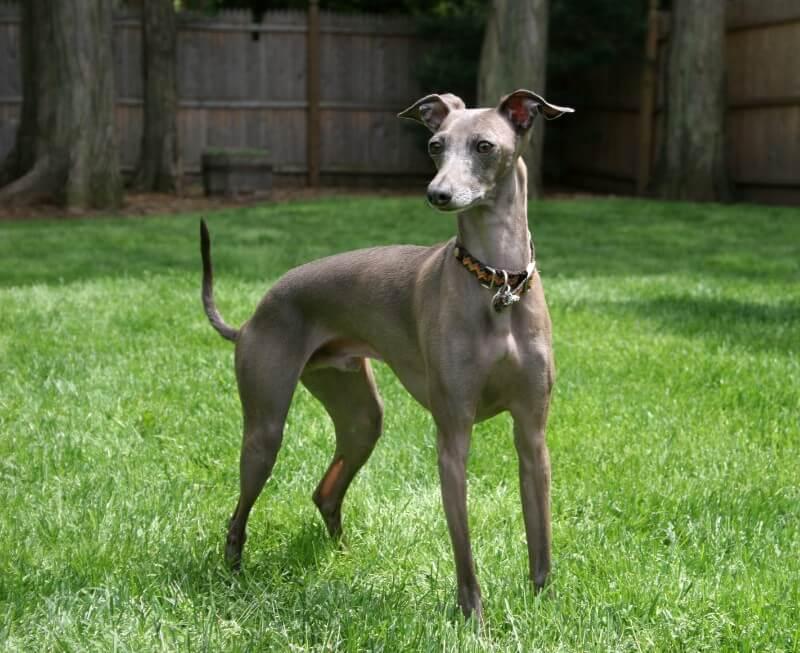 Italian Greyhound dog breed
