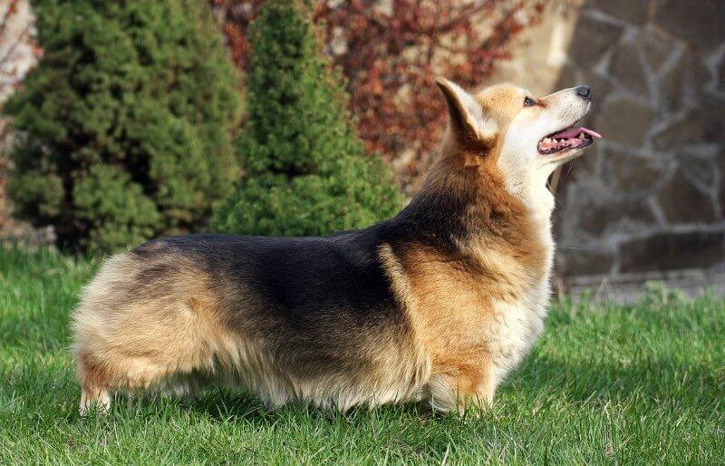 Welsh Corgi dog breed