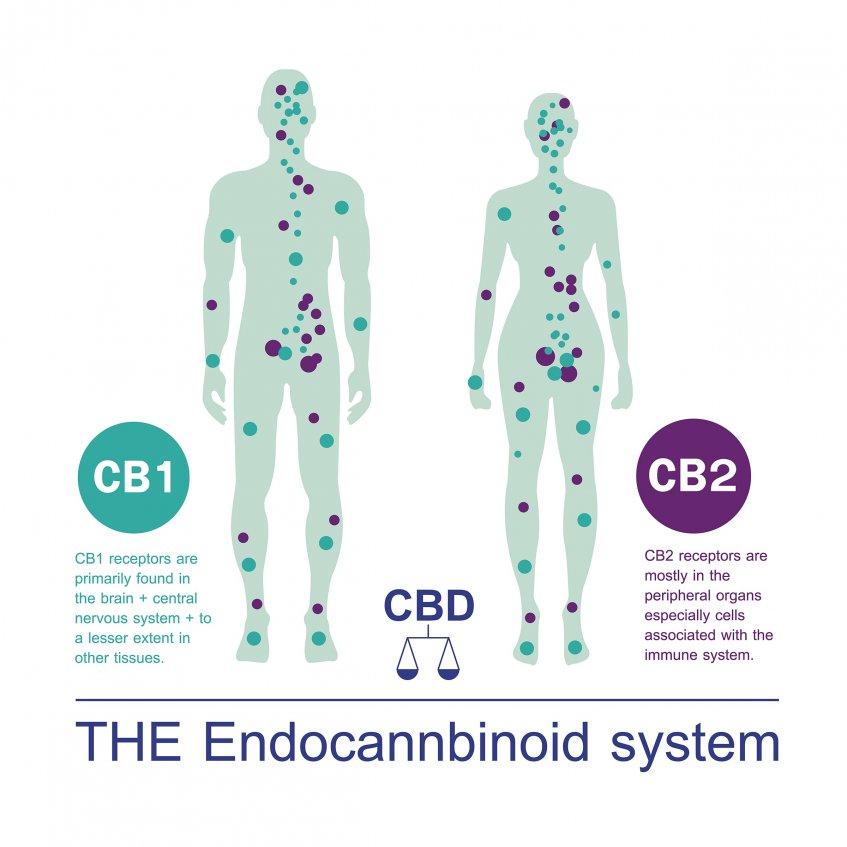 Project CBD The endocannabinoid system